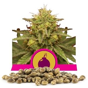 Royal Domina Bulk Seeds