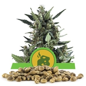 Blue Cheese Automatic Bulk Seeds