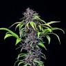 Purplematic CBD