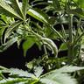 Clips d'entrenamient LST per a plantes