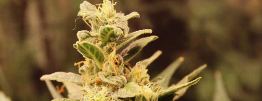 Easy Bud Cannabis Strain Royal Queen Seeds Marijuana Begginers