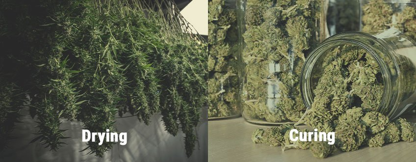 How to Avoid Mouldy Weed During Drying and Curing