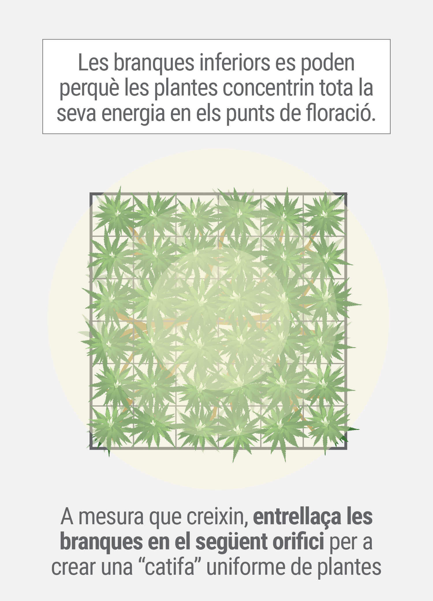 Cultivant cannabis amb el mètode SCROG (Screen of Green) Tercera Fase