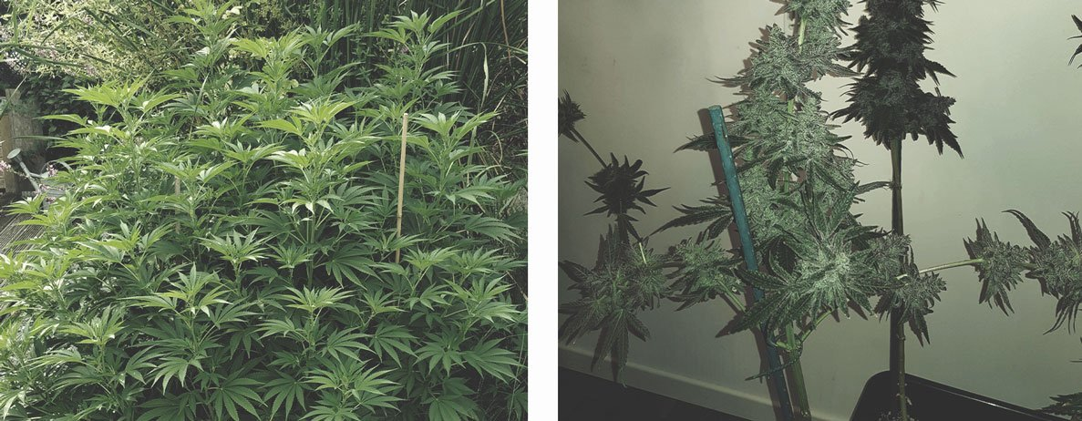 Best Ways To Support Large Cannabis Buds Indoors and Outdoors