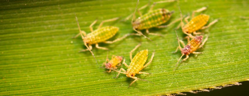 aphids cannabis