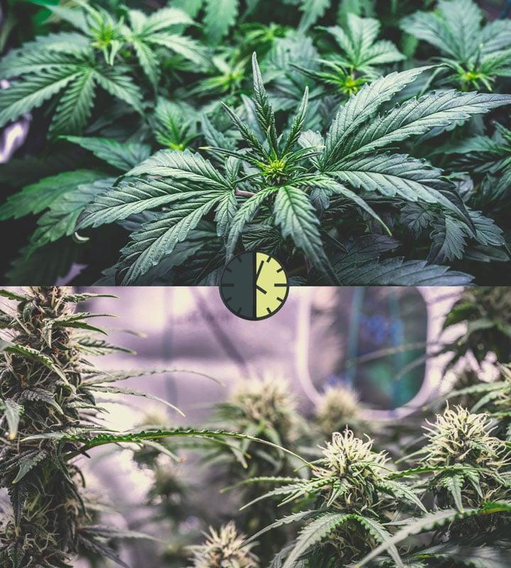 Pros i contres de les varietats de cànnabis autoflorecientes