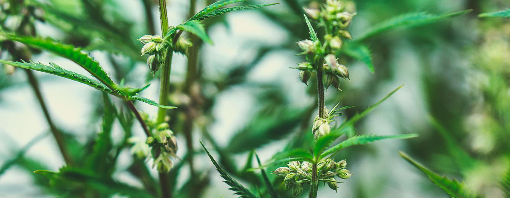 Medical cannabis seeds