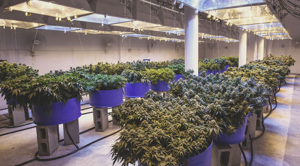 The Professionalisation of Cannabis Cultivation