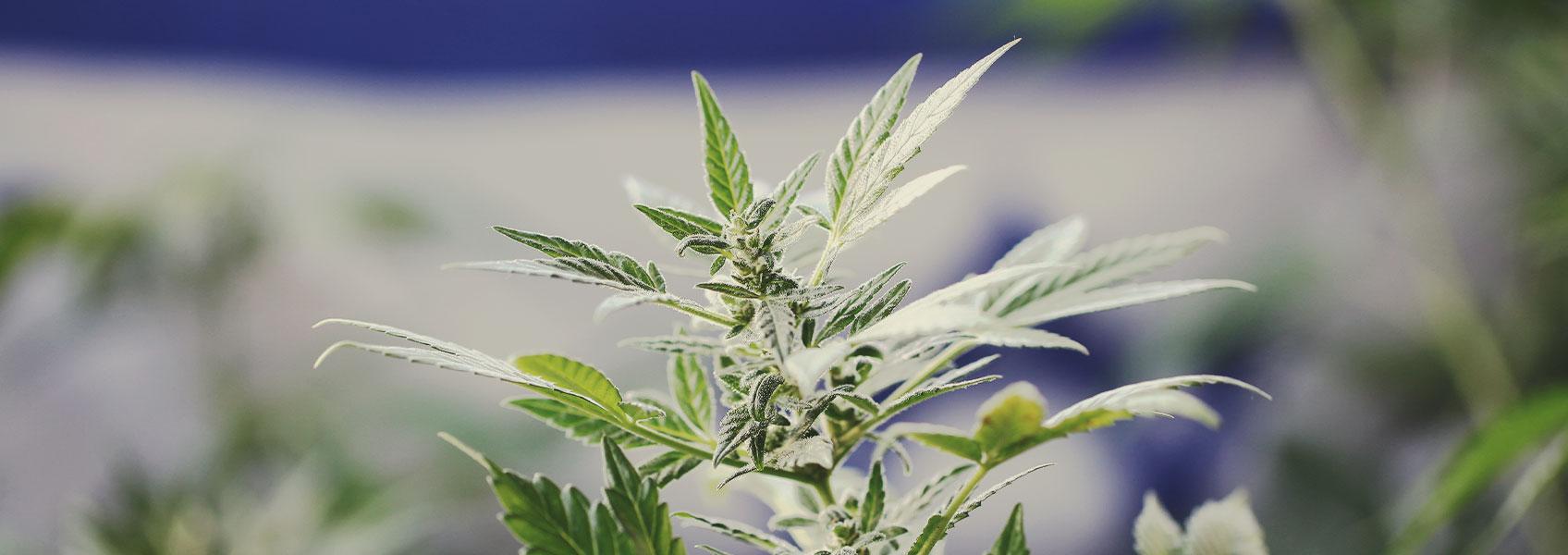Marijuana Research in Israel: A Leading Model