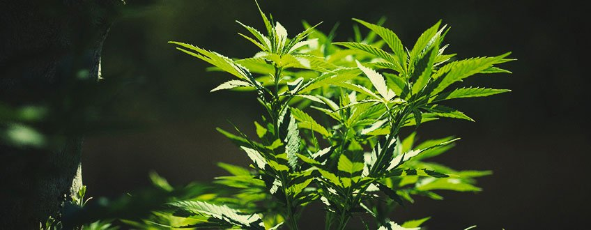 How to Move Indoor Cannabis Plants Outdoors