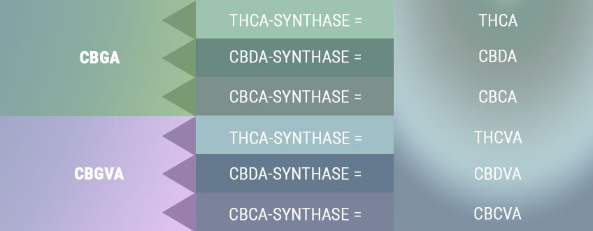 BIOSYNTHESIS CREATES THE ACID FORMS OF THE PRIMARY CANNABINOIDS