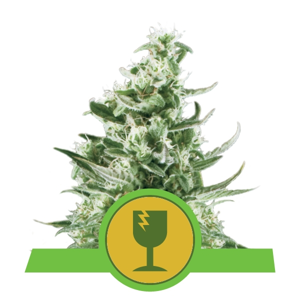 Royal Critical Automatic Royal Queen Seeds