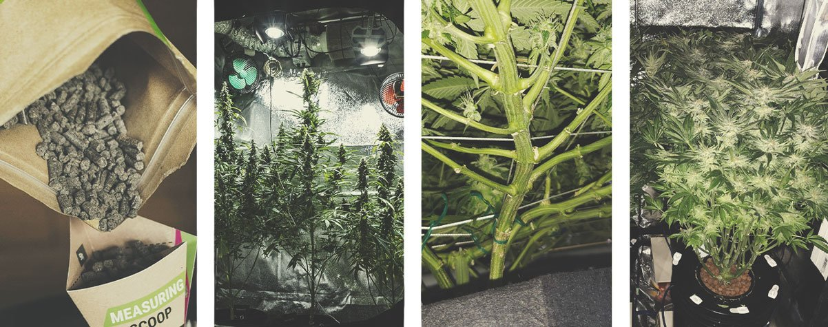 Other Important Considerations That Affect Cannabis Yield