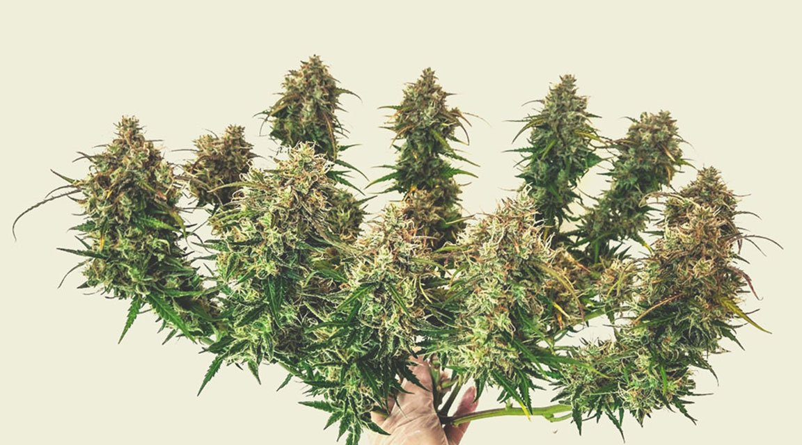 Estimating the Yield of Autoflowering Plants