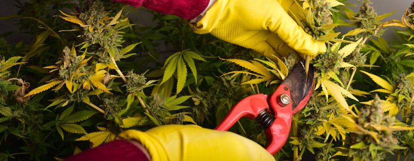 cannabis cutting