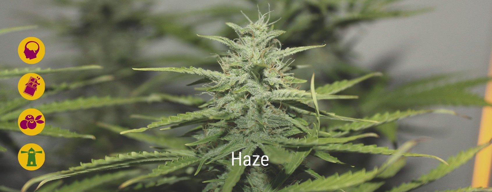 Best haze cannabis strains