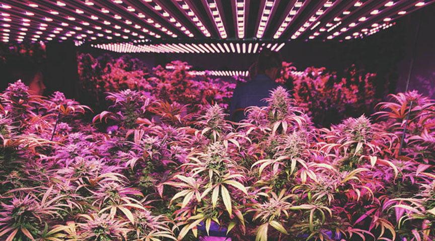 The Indoor Cannabis Boom