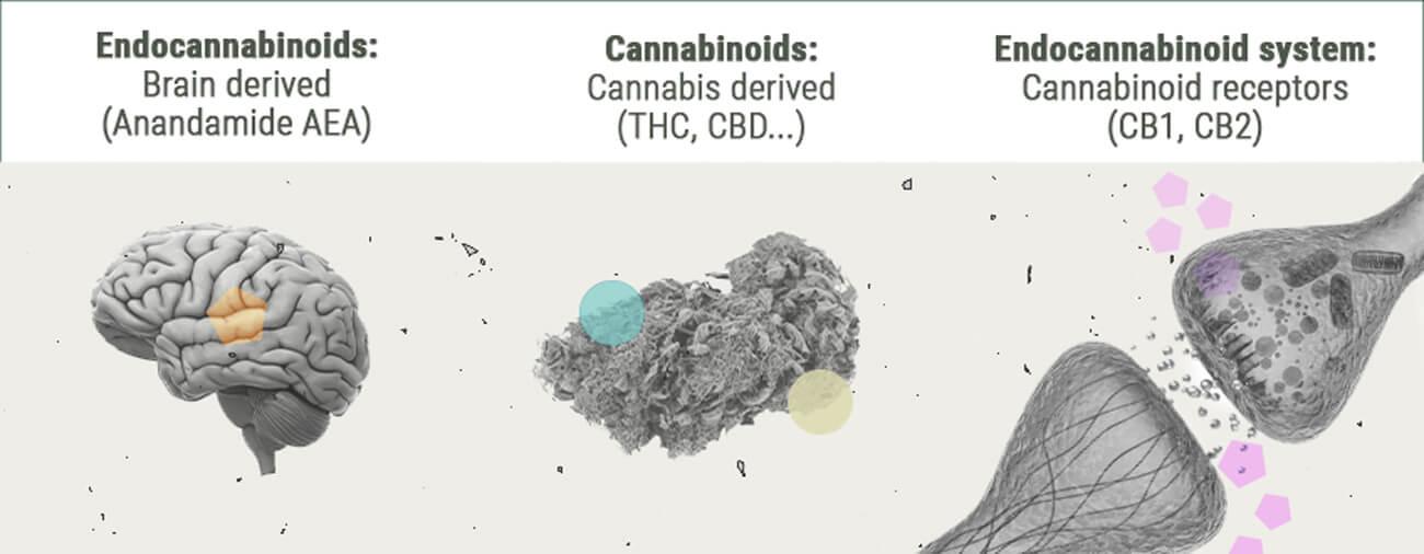 Chemistry of the Cannabis High