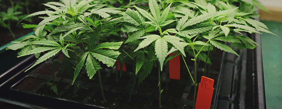 Germinate Cannabis Seeds