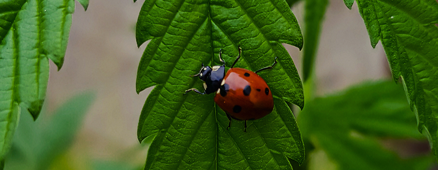 LADYBUGS ARE FORMIDABLE PREDATORS