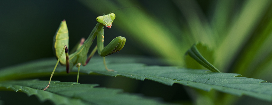THE PRAYING MANTIS: THE QUINTESSENTIAL PREDATORY INSECT