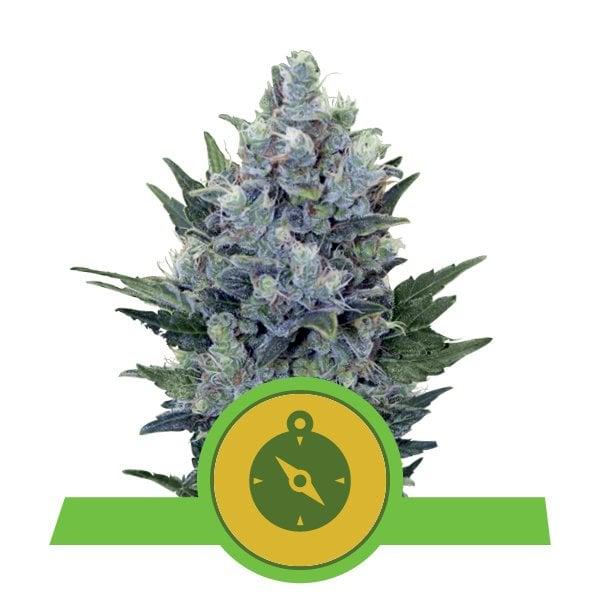 Top 10 Productive Cannabis Strains - RQS Blog
