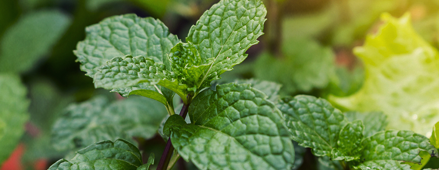 PEPPERMINT AS A COMPANION FOR OTHER GARDEN PLANTS