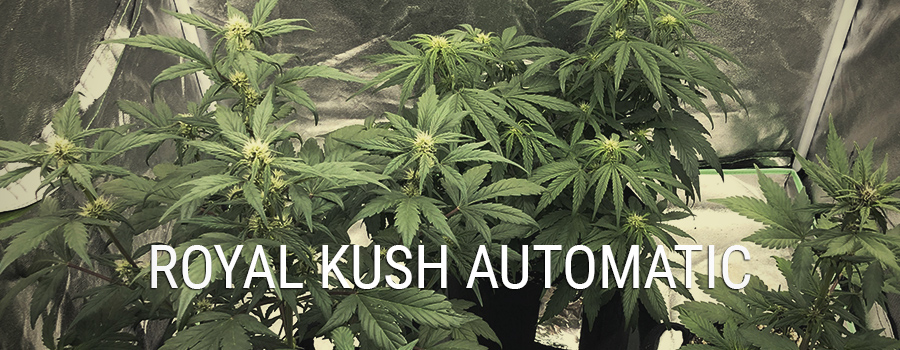 Royal Kush Automatic