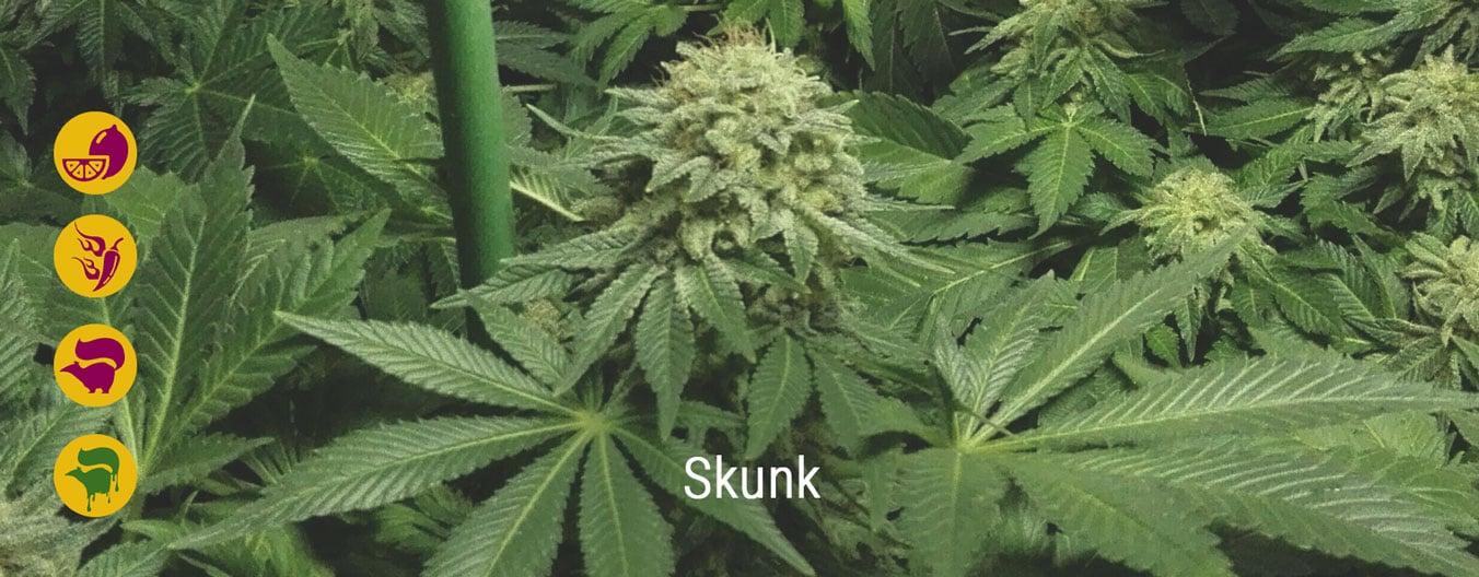 Best skunk cannabis strains
