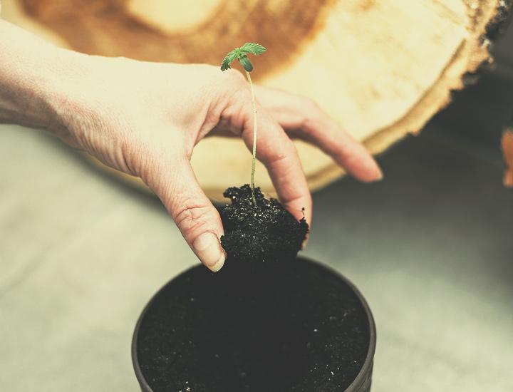 Autoflowering Cannabis Seeds for Indoor Growing