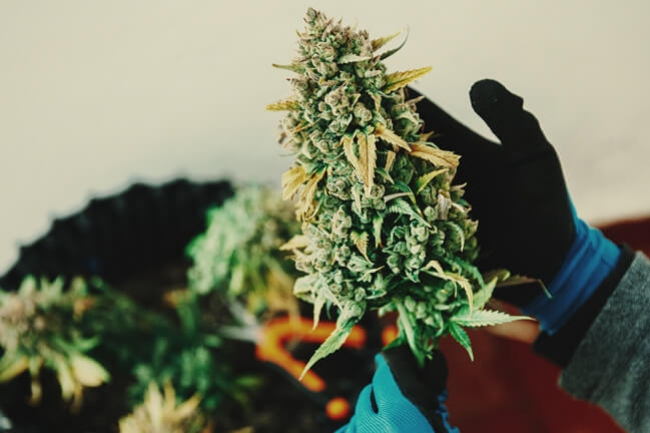 Tips For Increasing Terpenes Within Your Marijuana Plants