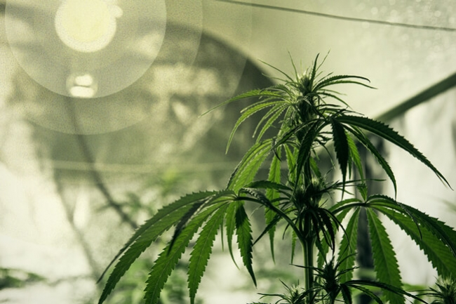 Best lighting for growing cannabis - RQS Blog
