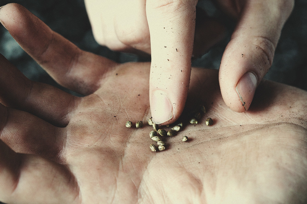 Is It Safe To Touch Cannabis Seeds With Your Bare Hands?
