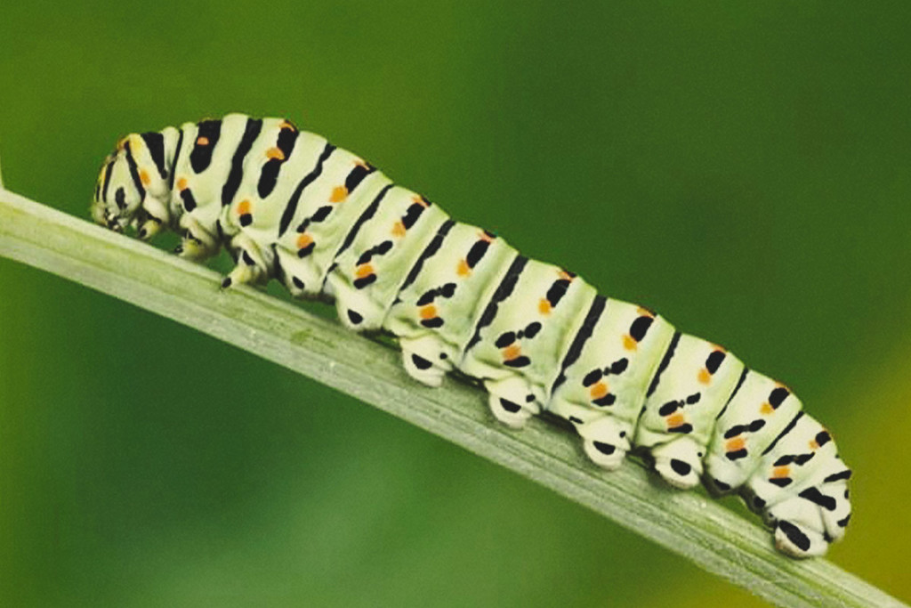 How To Keep Caterpillars Off Your Cannabis Plants Royal Queen