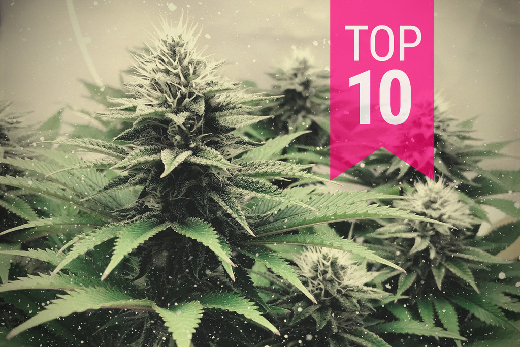 Top 5 cannabis strains for colder climates