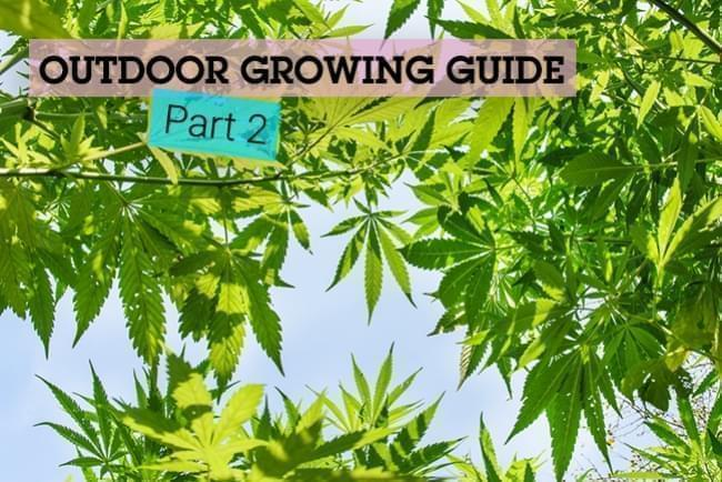 The Basics of Cannabis Outdoor Growing (Part 2)