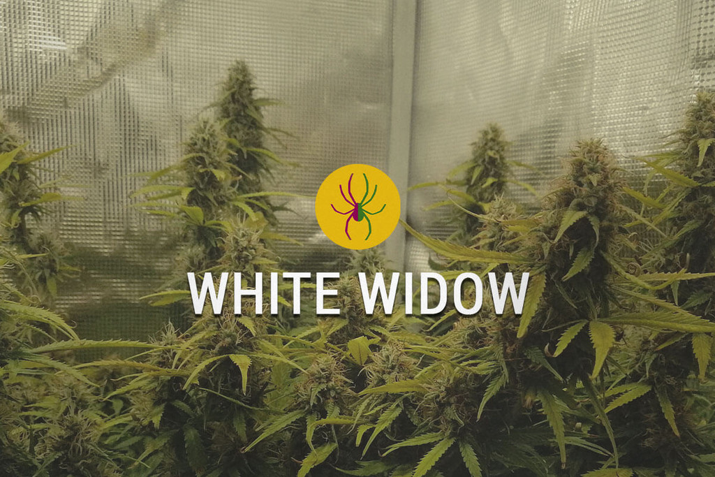 White Widow Llavors de Marihuana