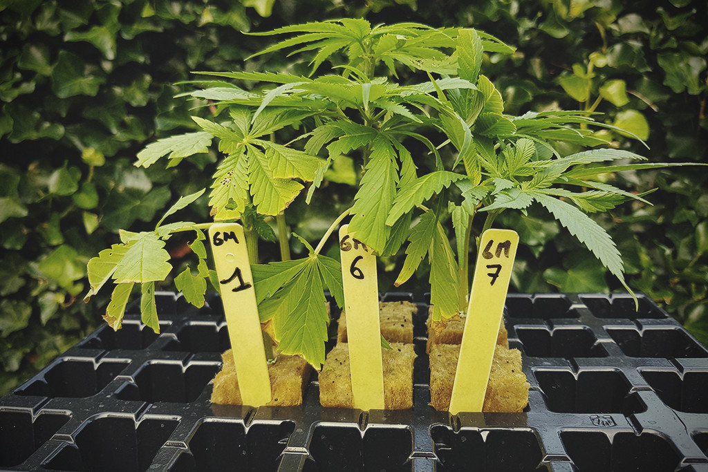 Basic Cannabis Knowledge: Genotype and Phenotype