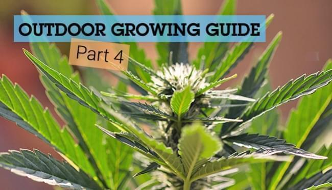 Outdoor Growing Guide - Part 4