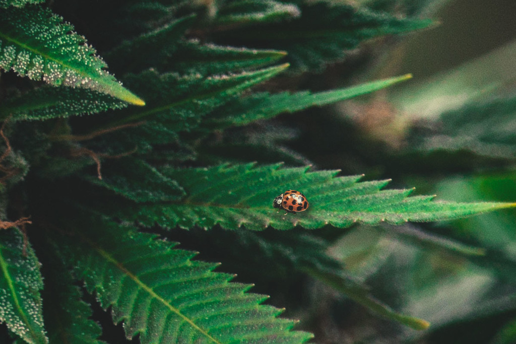 Ladybugs to Kill Marijuana Spider Mites