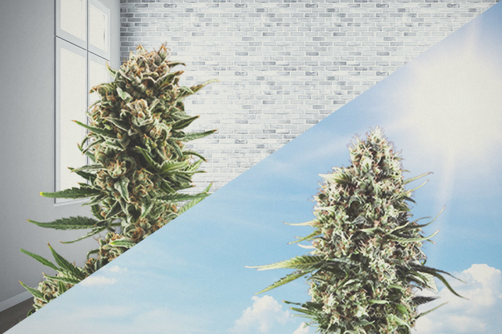 How Much Sunlight Do Outdoor Cannabis Plants Need To Grow? - RQS Blog