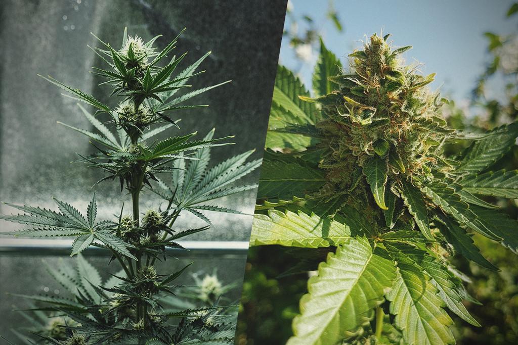 Comment Lancer vos Plants De Cannabis En Intérieur Et Passer en ...