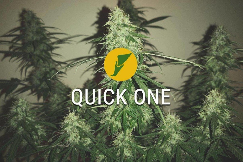 Quick One Cannabis collita en tan sols 2 mesos!