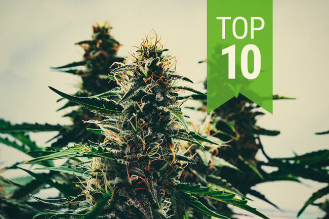 The Cannabis Cultivation Timeline