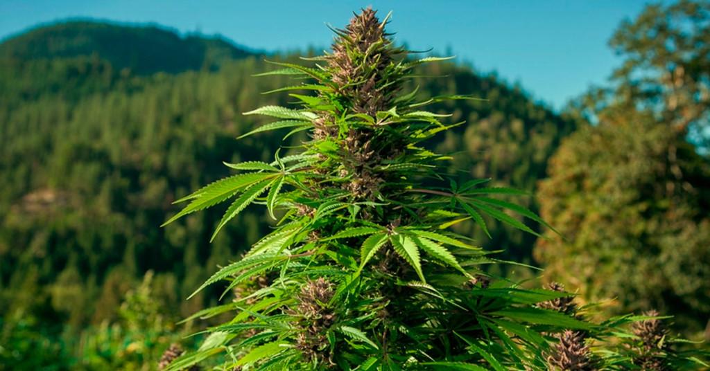 Basic Genetics Terminology For Cannabis - RQS Blog