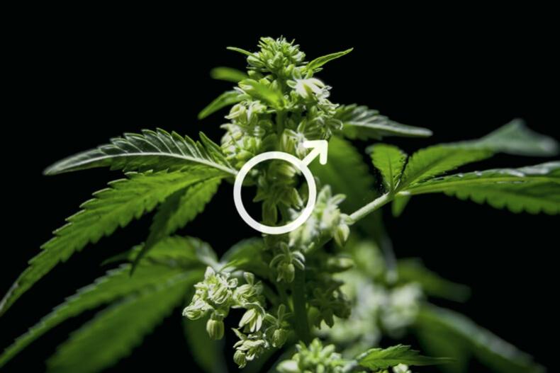 Uses Of Male Cannabis Plants - RQS Blog