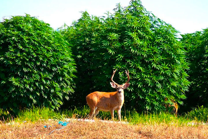 Cannabis Heartland In Humboldt County, The Story Of The