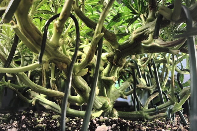 Bigger Cannabis Yields With Super Cropping - RQS Blog