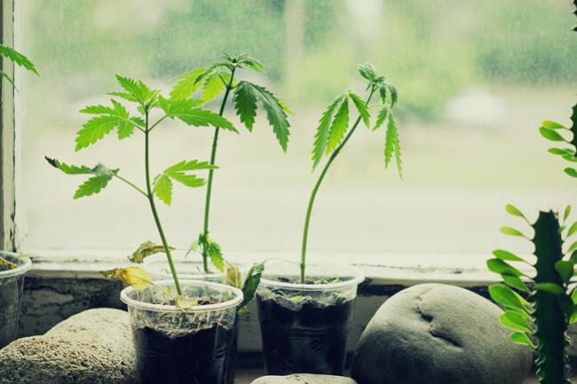 How And When To Transplant Cannabis Seedlings - RQS Blog