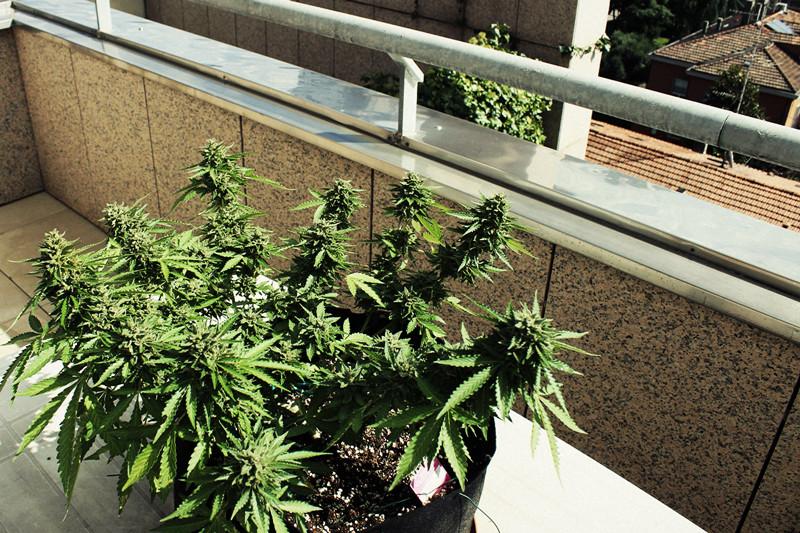 Hoe kweek je wiet op een balkon of terras rqs